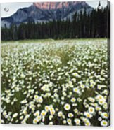 Ox-eyed Daisies And Cascade Mountain Acrylic Print