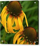 Ozark Yellow Coneflowers Acrylic Print