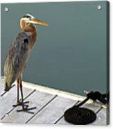 P1104117 Great Blue Heron Acrylic Print
