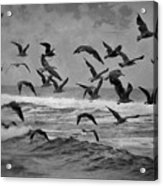 Pacific Gulls Acrylic Print