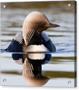Pacific Loon Making Waves Acrylic Print by Tim Grams