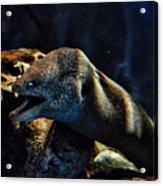 Pacific Moray Eel Acrylic Print