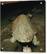 Pacific Or Olive Ridley Turtle Laying Acrylic Print
