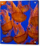 Pacific Sea Nettle Cluster 1 Acrylic Print
