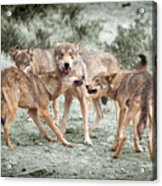 Pack Dispute Acrylic Print