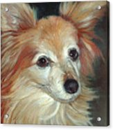 Paco The Papillion Acrylic Print