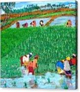 Paddy Planters Acrylic Print