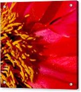 Paeonia 1 Acrylic Print