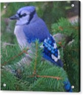 Painted Blue Jay  Acrylic Print