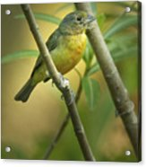 Painted Bunting Female Acrylic Print