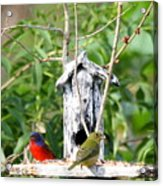 Painted Buntings Acrylic Print