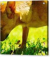 Painted Chihuahua  Acrylic Print