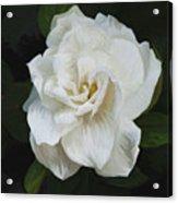Painted Gardenia Acrylic Print
