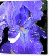 Painted Iris Acrylic Print