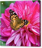 Painted Lady On Dahlia Acrylic Print