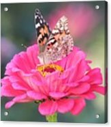 Painted Lady On Red Zinnia 3  Acrylic Print