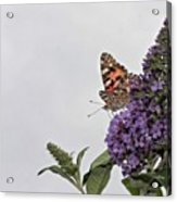Painted Lady (vanessa Cardui) Acrylic Print