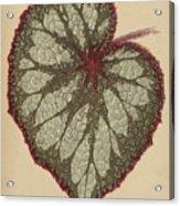 Painted Leaf Begonia Acrylic Print
