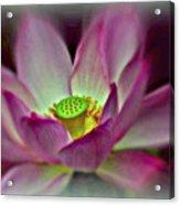 Painted Lotus Acrylic Print