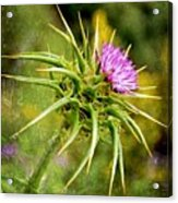 Painted Milk Thistle Acrylic Print