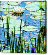 Painted North American White Water Lily Acrylic Print