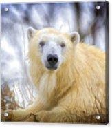 Painted Polar Bear  Acrylic Print