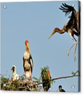 Painted Stork  Acrylic Print