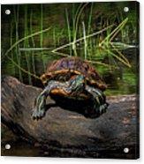 Painted Turtle Sunning Itself On A Log Acrylic Print
