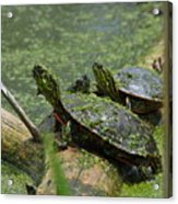 Painted Turtles Acrylic Print