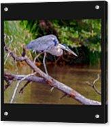 Painting Blue Heron Oak Creek Acrylic Print