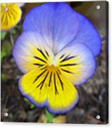 Painting Of Pansey Flower Acrylic Print