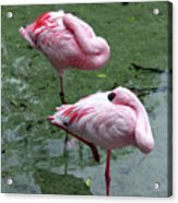 Pair In Pink Acrylic Print