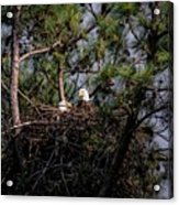 Pair Of Bald Eagles In Nest Acrylic Print
