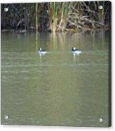 Pair Of Bufflehead Ducks  Acrylic Print