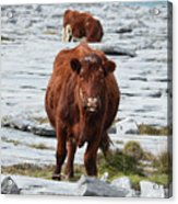 Pair Of Cows Grazing On The Burren In Ireland Acrylic Print