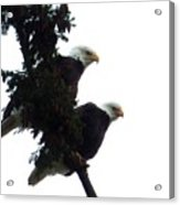 Pair Of Eagles In A Tree Acrylic Print