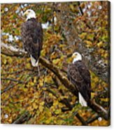 Pair Of Eagles In Autumn Acrylic Print