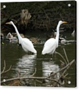 Pair Of Egrets Acrylic Print by George Randy Bass