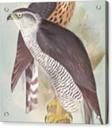 Pair Of Goshawks Acrylic Print