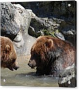 Pair Of Grizzly Bears Wading In A Shallow River Acrylic Print