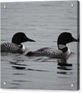 Pair Of Loons Acrylic Print