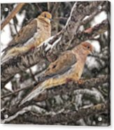 Pair Of Morning Doves Acrylic Print