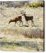 Pair Of Mule Deer Grazing At Chatfield Acrylic Print