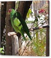 Pair Of Parrots Acrylic Print