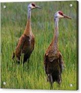 Pair Of Sandhill Cranes Acrylic Print