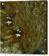 Pair Of Squat Anemone Shrimp Acrylic Print