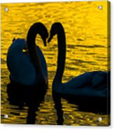 Pair Of Swans Acrylic Print