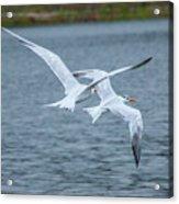 Pair Of Terns Acrylic Print
