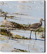 Pair Of Willets Acrylic Print