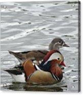 Paired Wood-ducks Acrylic Print